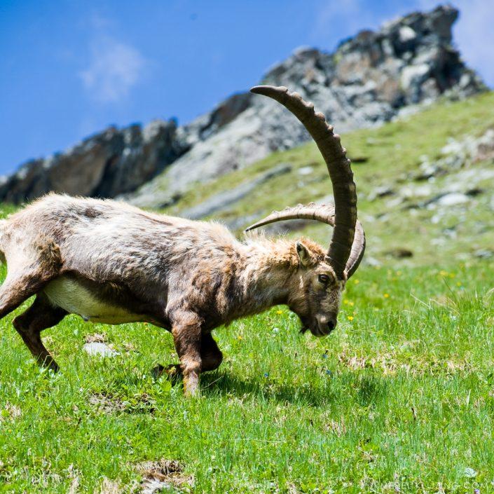 Austria grossglockner mountain goat