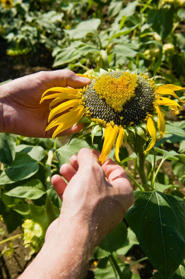 hands making a sunflower heart