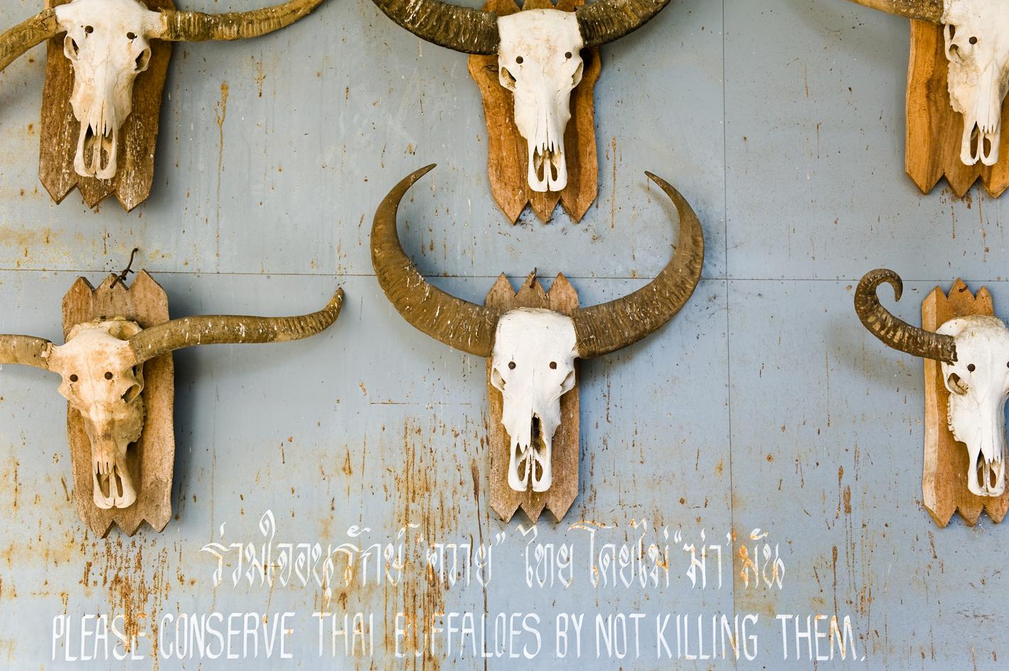 thailand buffalo skulls