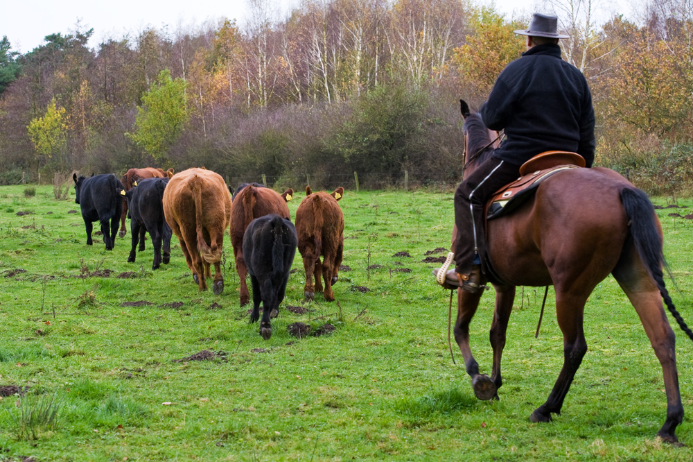 cattle driving angus in the netherlands
