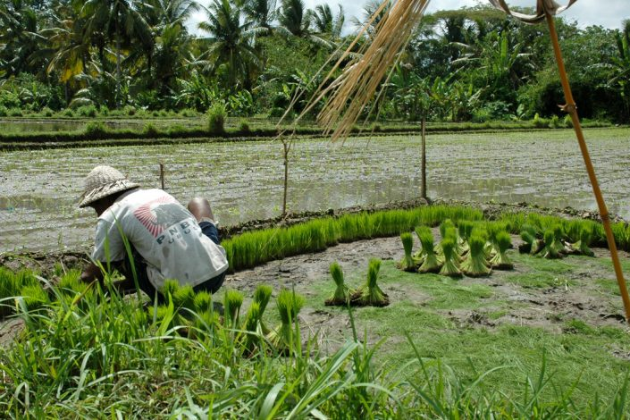 indonesia farmer planting rice