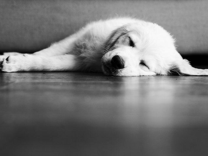 sleeping golden retriever puppy