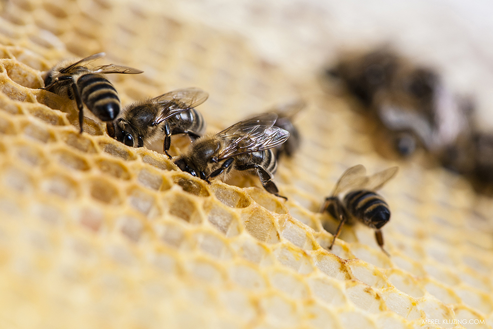 bees eating honey