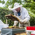 Cees the beekeeper at work